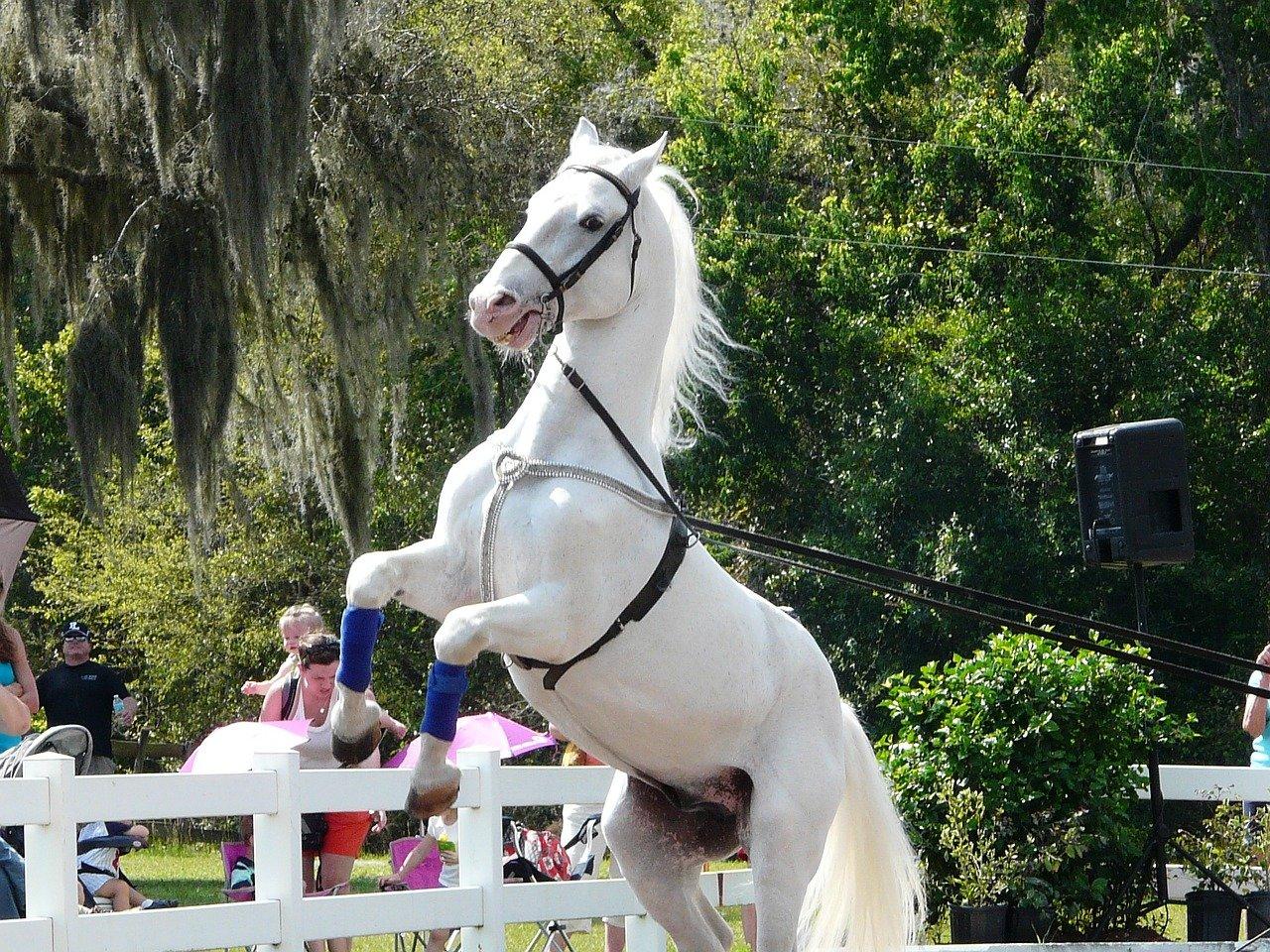 cai Lipitani, rasa calului dansator